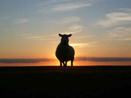 sunset-sheep-dike-nordfriesland-69466.jpeg