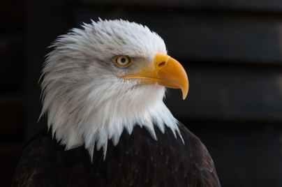 bald-eagles-bald-eagle-bird-of-prey-adler-53581.jpeg